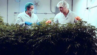 Marijuana growing - from Cannabis Wheaton's web site.
